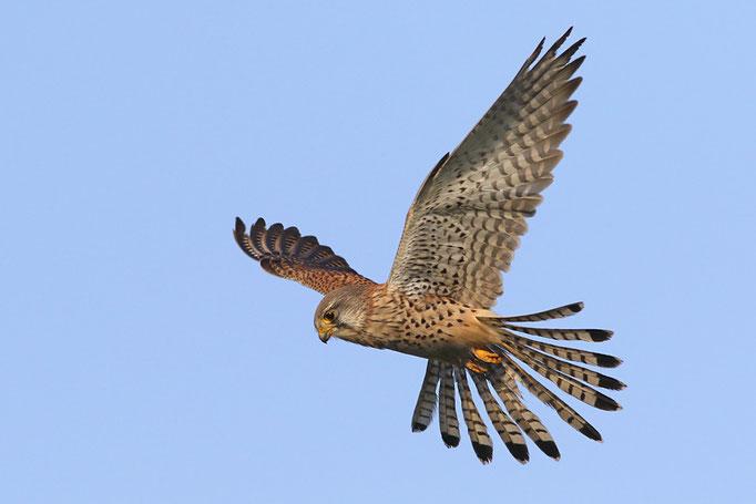 Turmfalke (Falco tinnunculus), Common Kestrel © Thorsten Krüger