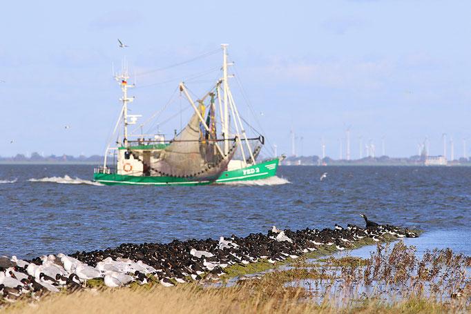 Hochwasserrast auf Buhne, Waders and gulls at high tide roost © Thorsten Krüger
