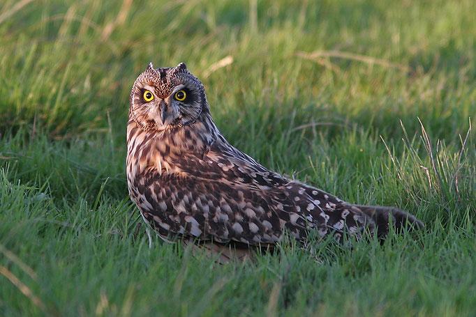 Sumpfohreule (Asio flammaeus), Short-eared Owl © Thorsten Krüger