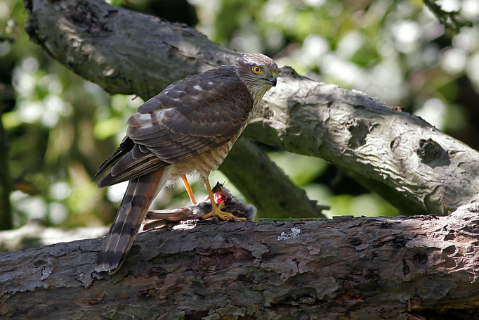Sperber (Accipiter nisus), Sparrowhawk © Thorsten Krüger