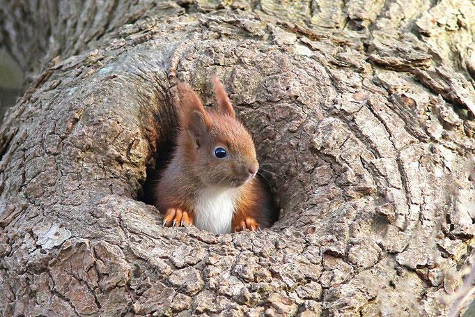 """junges Eichhörnchen (Sciurus vulgaris), """"moin"""", Eurasian Red Squirrel  © Thorsten Krüger"""