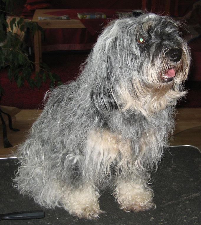 Emmi - Tibet Terrier