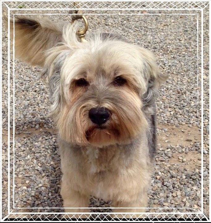 Wuschel - Tibet Terrier