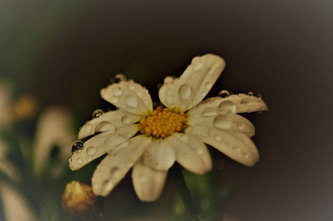 lady-sahmara-photo.de - Samara Blue - tränen der natur - flower power