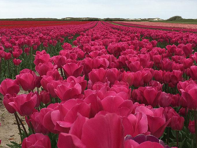 Tulpenblüte an Ostern