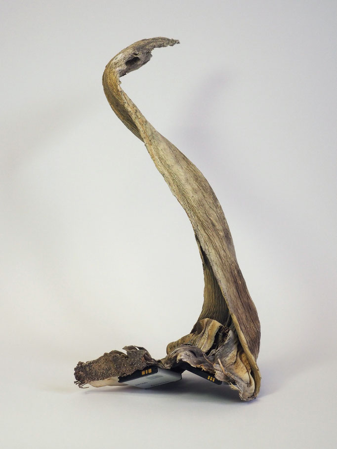 _Serpente | dried leaf, lithium accus