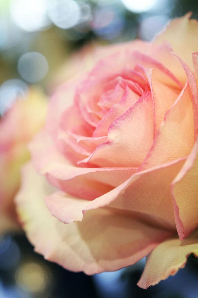 Détail d'un bouquet de roses de la variété Espérance