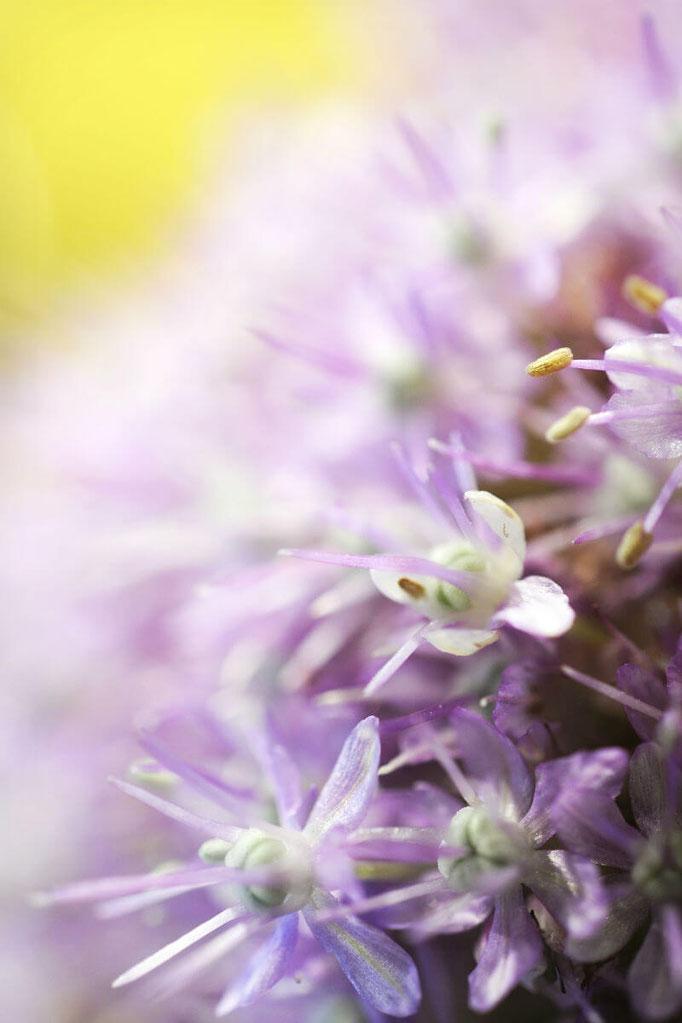 Détail d'une fleur d'allium