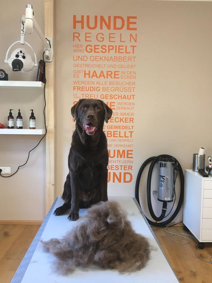 Labrador beim Hundefriseur, Hundesalon Plisch & Plum