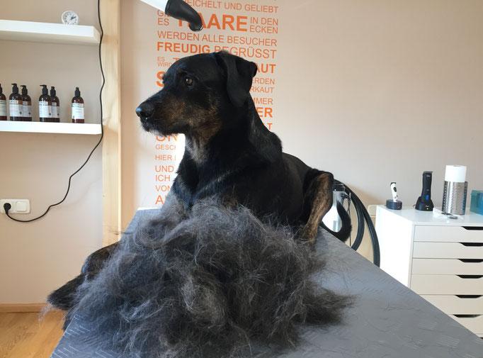 Riesenschnauzer-Rottweiler-Mix, Fellpflege - Hundefriseur