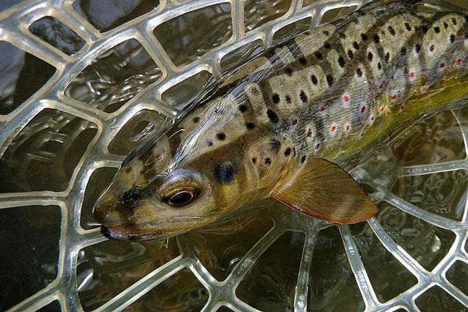 Buche exklusive Guidingtouren zum Fliegenfischen mitten in Deutschland bei der Fliegenfischerschule-Hessen.