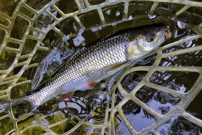 Fliegenfischen lernen in Deutschland ist ganz einfach möglich mit der Fliegenfischerschule-Hessen.