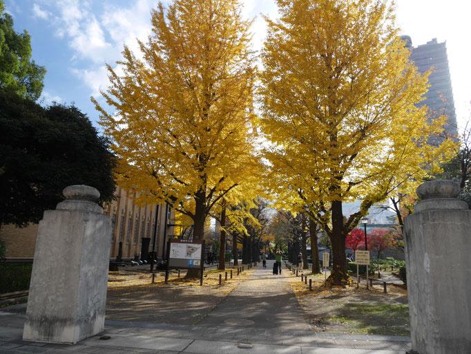 横網町公園入り口から続くイチョウ並木。