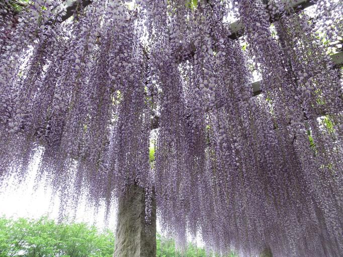 藤の花には、右巻きと左巻きの二種があるそうです。