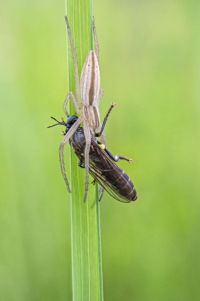 Jagdspinne frisst Schwarze Habichtsfliege