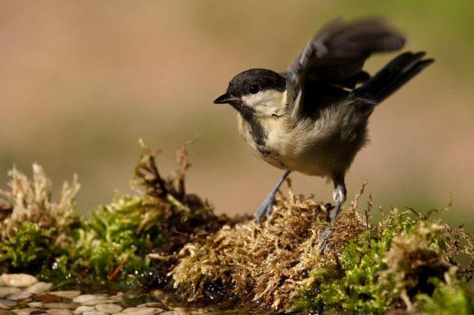 45 Junge Kohlmeise an der Vogeltränke