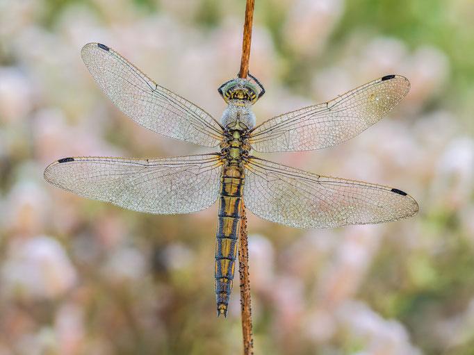 Blaupfeil (weibl.)