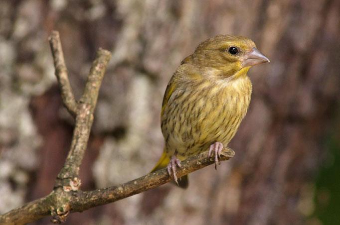 28 Junger Grünfink