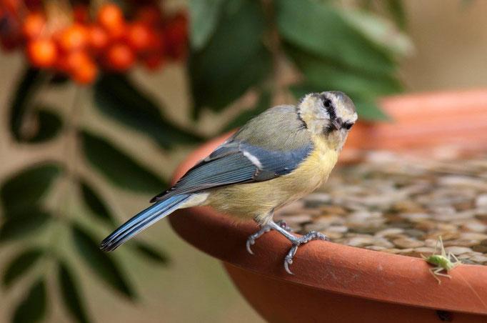 50 Blaumeise und Heuschrecke an der Vogeltränke