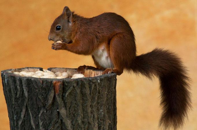 17 Eichhörnchen