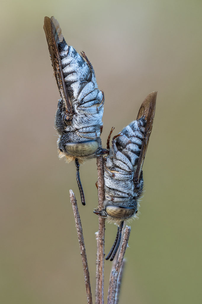 Kegelbienen