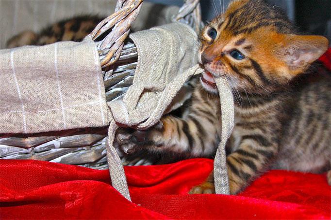 chaton bengal 1er mois