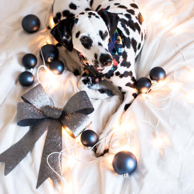 Dalmatiner Weihnachten
