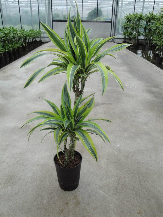 Dracaena Lemon 60-30 cm