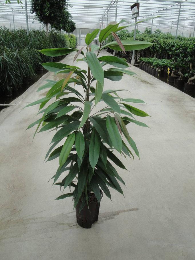 Ficus Amstel KIng 110 cm