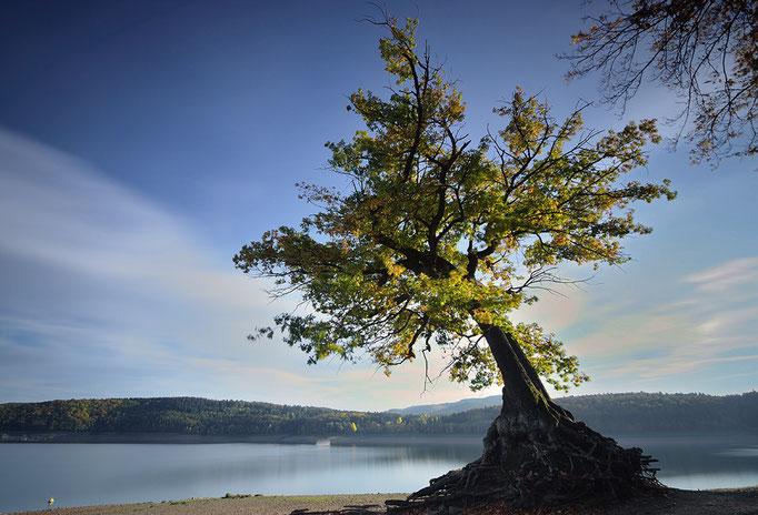 Alte Eiche (Taucherbaum) am Edersee