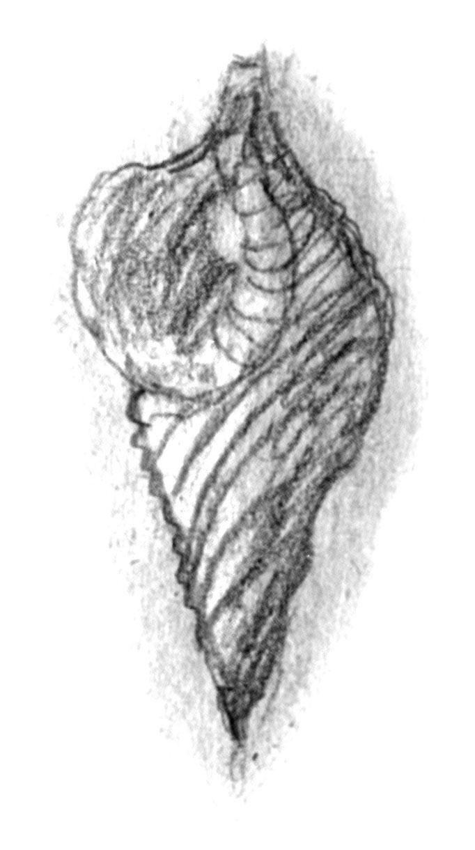 Riesenmuschel (Archäologisches Museum Kreta)