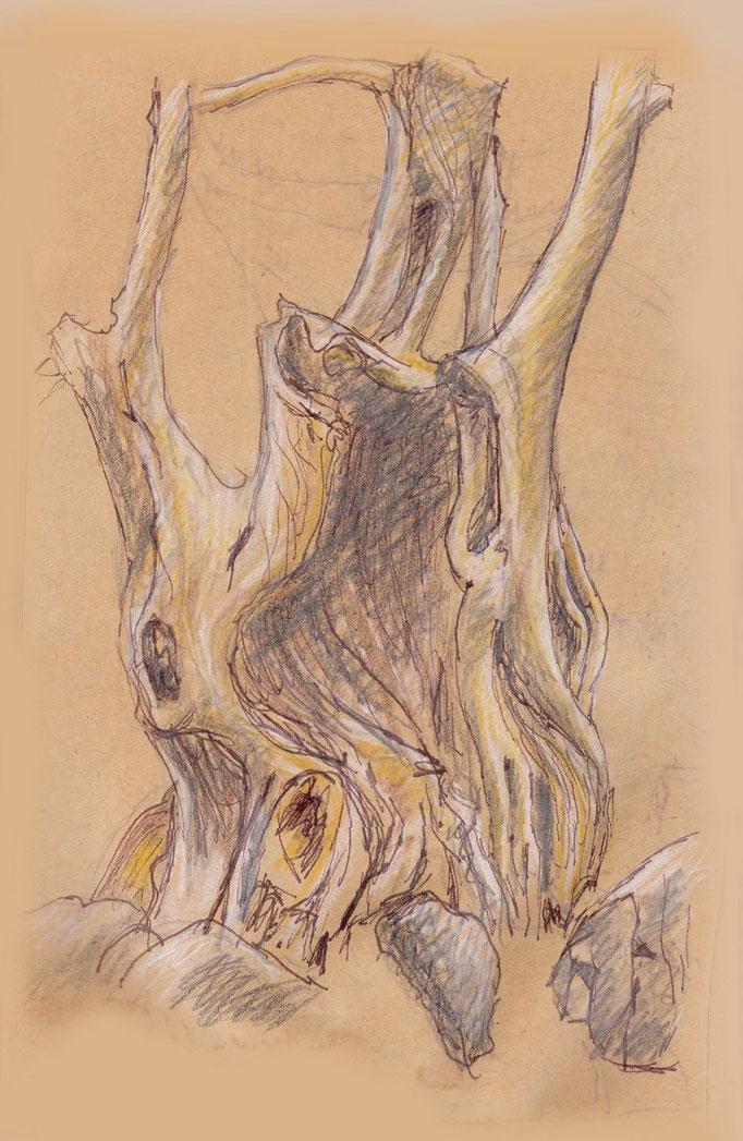 Alter ausgehöhlter Olivenbaum
