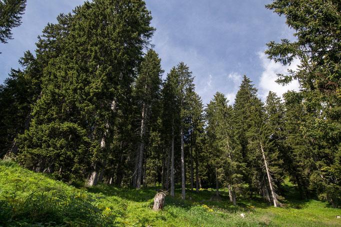 Il bosco di abeti dal basso