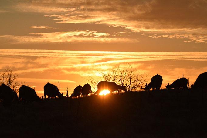 Troupeau de chamois sur les Crêtes