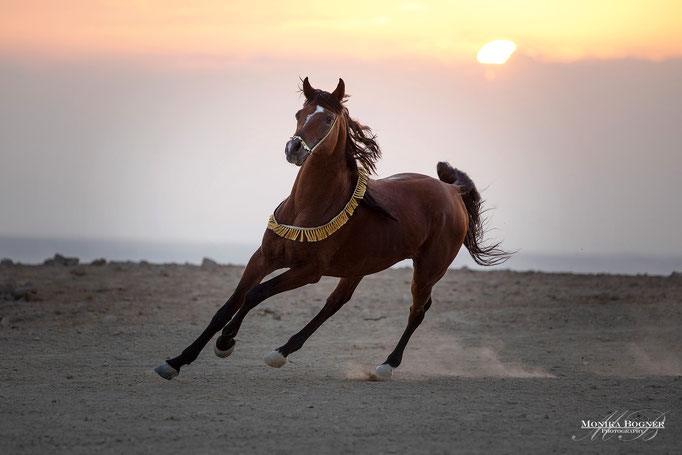 Arabisches Pferd in der Wüste, Araber, Ägypten, Pferdeschooting