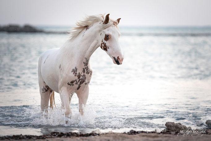 Wolkes Horse Paradise, gescheckte Pferd, Ägypten