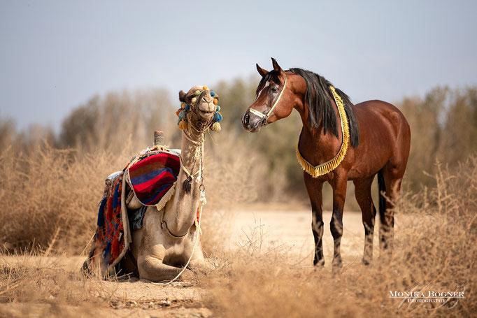 Arabisches Pferd und Kamel, Araber, Ägypten, Pferdeschooting bei Wolkes Horse Paradise