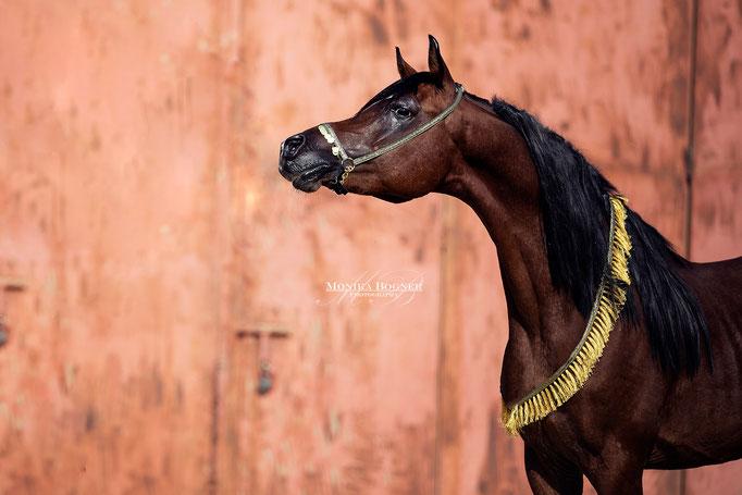 Arabisches Pferd , Araber, Ägypten, Pferdeschooting