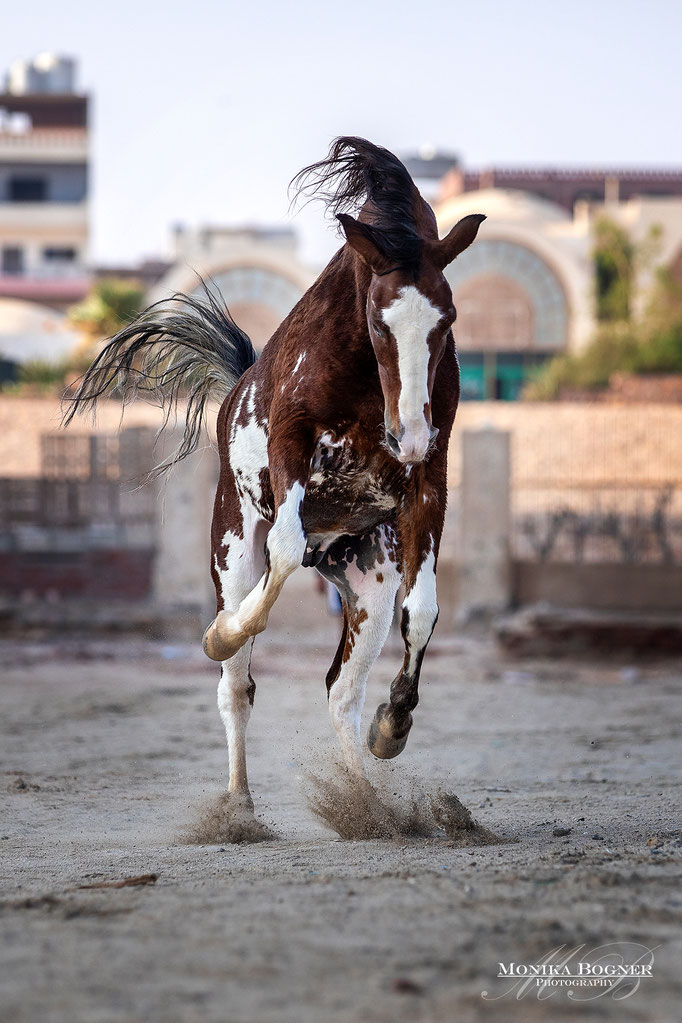 gescheckte Pferd, Pony, Wolkes Horse Paradise