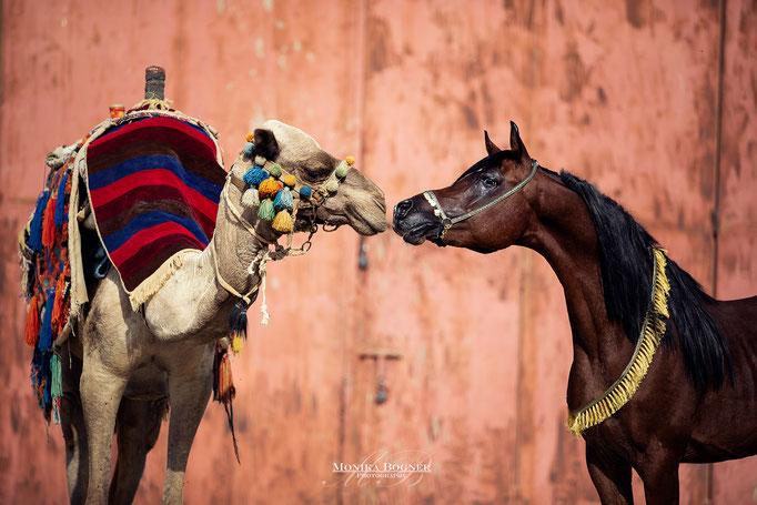 Arabisches Pferd und Kamel, Araber, Ägypten, Pferdeschooting