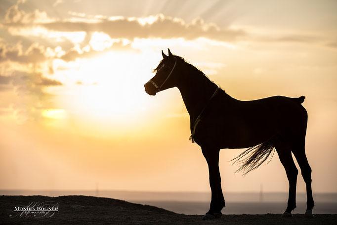Arabisches Pferd, Araber, Ägypten, Pferdeschooting