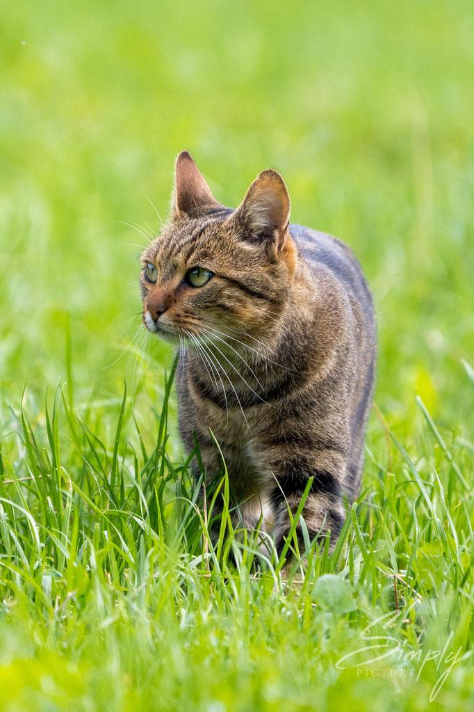 Katze am streunen im grünen Gras