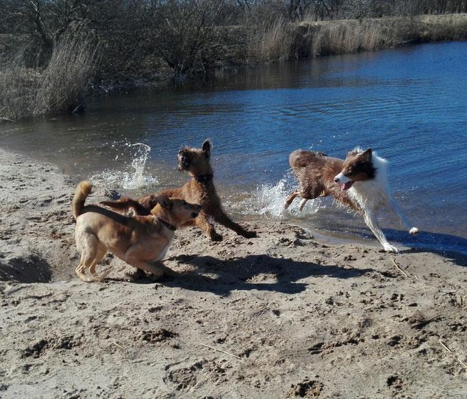 Irish Terrier & Co. in Action.