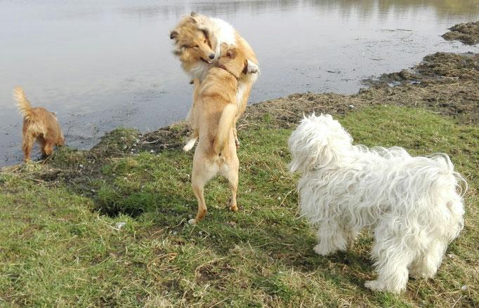 Spielerischer Hundekampf.