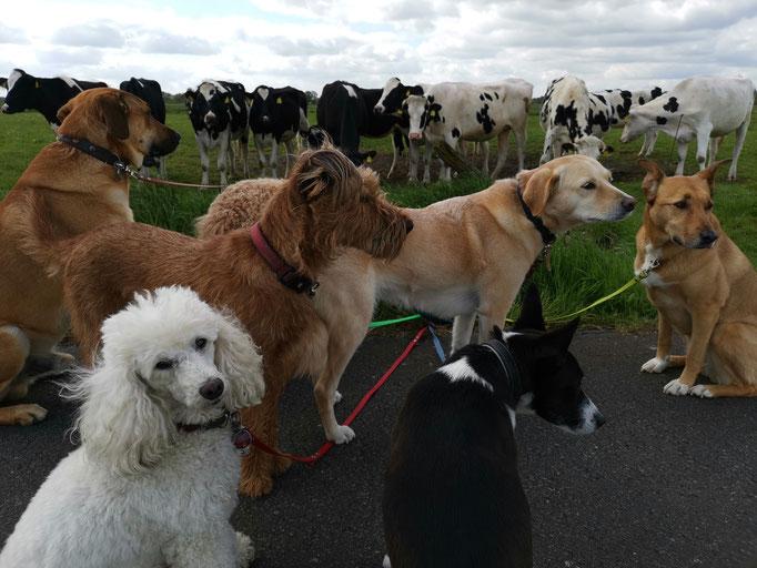 Hundebande trifft Dalmatinerrudel.