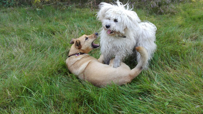 Tibet Terrier dominiert Hybrid Dingo.