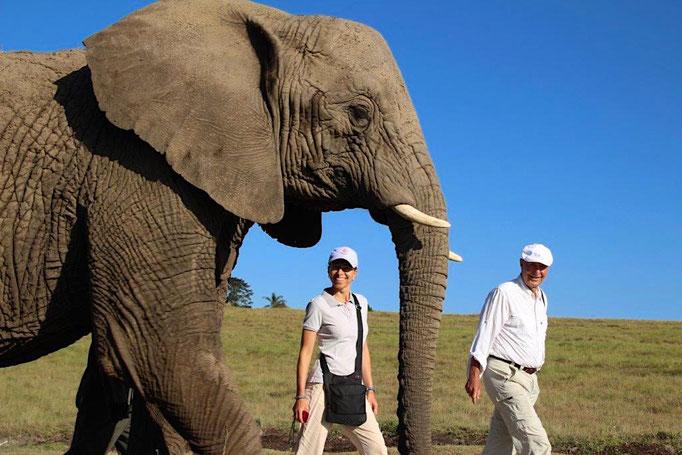Elefanten in Afrika. Die wunderbaren Giganten. 10.000 wurden getötet, weil einige z.B. Kalviertasten aus Elfenbein cool finden.