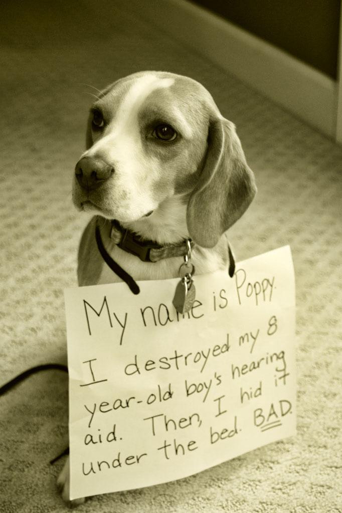 Mi nombre es Poppy. Destruí el audífono de mi niño/amo de 8 años. Luego lo escondí debajo de la cama. Soy malo.