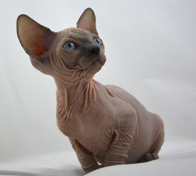 Sphynx Kittens for sale - Indigo Sphynx Kittens - Canadian