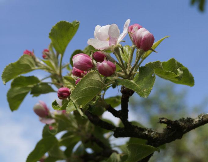 Apfelblüte im Garten.